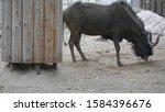 sable antelopes eating leaves... | Shutterstock . vector #1584396676