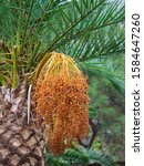 A Cluster Of Dates Hanging Fro...
