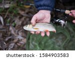 Small panfish Common or european chub, squalius cephalus, in the fisherman hand during the winter fishing on the rod with soft lures in the river  in Czech Republic. Catch and release sport angling.