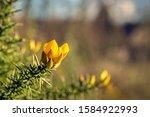 Closeup Of A Yellow Budding And ...