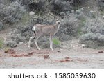 Small photo of Mule deer doe, standing on the side of Twin Lakes Road, Eastern Sierra Nevada Mountains, California.