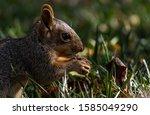 A Cute Fox Squirrel Feeding