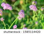 Beautiful Verbena Bonariensis...