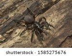 Trap Door Spider  Idiops Sp ...