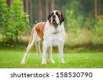 Short Haired Saint Bernard Dog...