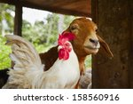 Friends   Rooster And Goat In...