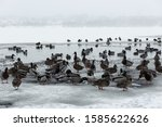 Ducks Swim In Winter Ice Water...