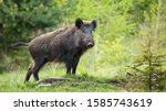 Small photo of Dominant wild boar, sus scrofa, displaying on a hill near little spruce tree. Wild animal standing on a horizon on horizon on glade in forest. Strong mammal in wilderness.
