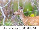 Fawn Deer In The Wild. Notice...