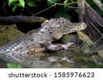 Spectacled Caiman Or White...