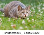 Stock photo hunting tortoiseshell tabby cat alert wide eyed and ready to pounce 158598329
