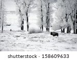 Bison  Bison Bison  Yellowston...