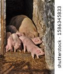 Mother Pig  Sow  And Her...