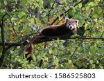 Male Red Panda  Gawa  Resting...