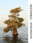 A Single Bald Cypress Tree...