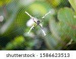 Silver Garden Spider  Argiope...