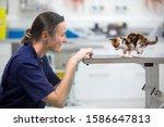 Vet Examining Pet Kitten Cat On ...