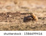 A Prairie Dog Couple At The...