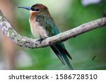 Blue Tailed Bee Eater  Merops...