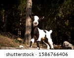 Cute Baby Goat In The Wild
