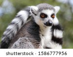 A Male Ring Tailed Lemur...