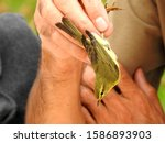 Small photo of Willow warbler (Phylloscopus trochilus) captured for study and banding, and subsequently released