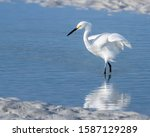 Snowy Egret At The Shore With A ...