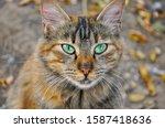 Gray Cat Portrait Stray Cat...