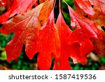 Wet Sassafras tree leaves, Autumn, Webster County, West Virginia, USA,