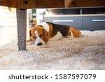 Beagle Dog Tired Lying Down...
