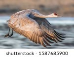 Sandhill Crane Flying At Bosqu...