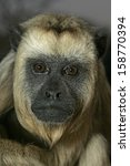 Small photo of Black-howler monkey, Alouatta caraya, female, Brazil