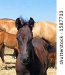 black quarter horse foal | Shutterstock . vector #1587733