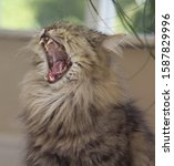 Small photo of Close up of cat yawning
