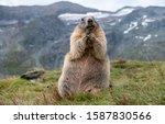 Marmot In The Alps In Austria