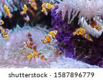 Several clownfish amphiprion...