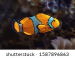 Clownfish   coral reef fish in...