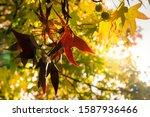 Golden Autumn Leaves Of Plane...