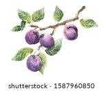 Plum Branch. A Branch Of A Plum ...