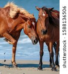 Wild Horses Of Corolla North...