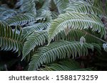 Fern Green Leaves Covered With...