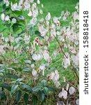 Lunaria Annua Plant