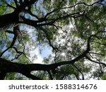 Kohomba Tree With Blue Sky