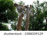 Two Giraffes Between Tree...