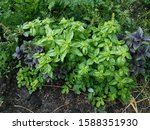 green and purple field basil...   Shutterstock . vector #1588351930