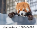 The Red  Panda Or Lesser Panda. ...