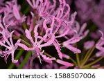 Pink Nerine Flowers  Diamond...