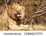 Portrait Of A Male Lion Covere...
