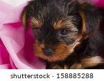 puppy yorkshire terrier close... | Shutterstock . vector #158885288