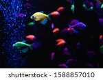 Small photo of Beautiful group of sea fishes. Underwater colorful life. Bright yellow aquarium fish ternary closeup. selective focus